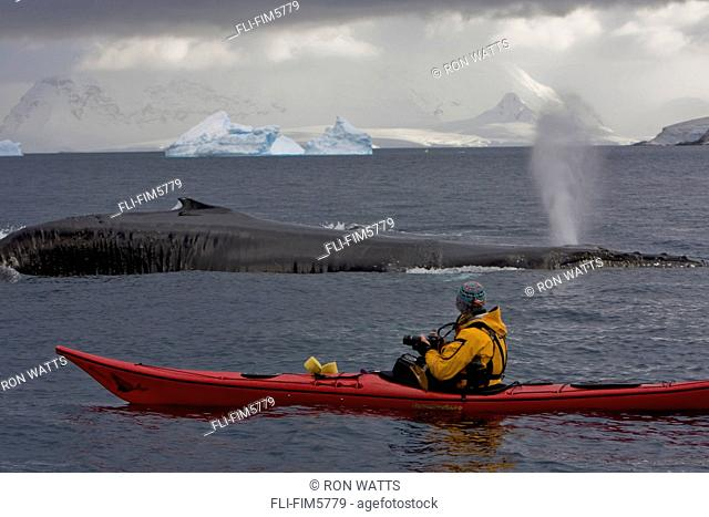A Humpback Whale Surfaces next to a Kayaker in the Errera Channel, Antarctic Archipelago