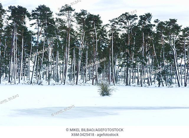 Pine forest. El raso in winter. Urbasa-Andia Natural Park. Navarre, Spain, Europe