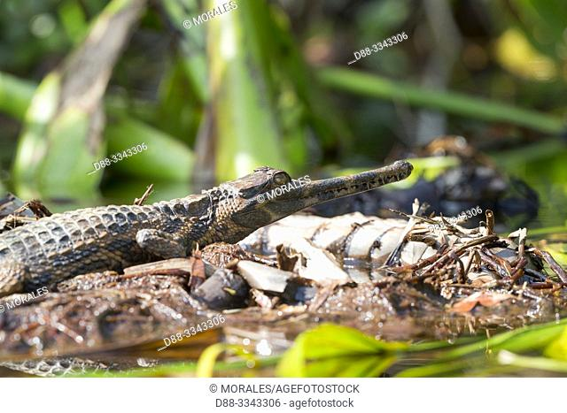 Asia, Indonesia, Borneo, Tanjung Puting National Park, . False gharial or Malayan gharial (Tomistoma schlegelii), resting ouutside