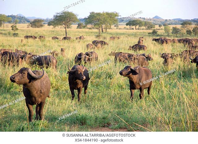 Herd African buffalo, Cape buffalo, Syncerus caffer. It is peculiar to South and East Africa, weighing up to 910 kg, notably tall in size and ferocity
