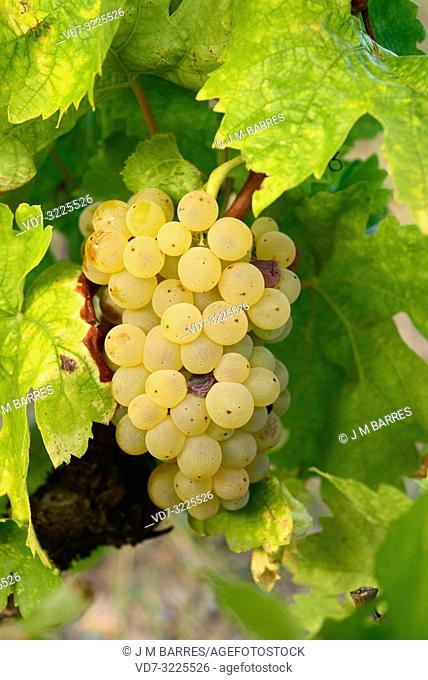 Common grape vine (Vitis vinifera) is a deciduous climber shrub native to Mediterranean Basin, central Europe and southwestern Asia