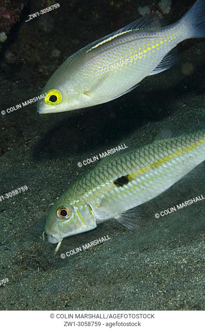 Yellowstripe Goatfish (Mulloidichthys flavolineatus, Mullidae family) and Whitestreak Monocle Bream (Scolopsis ciliata, Nemipteridae family)