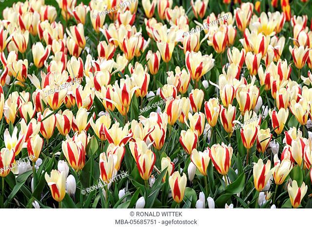 Holland, the Netherlands, Lisse, Keukenhof, blossomsing tulips