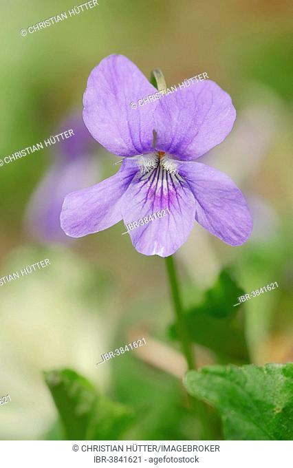 Early Dog-violet (Viola reichenbachiana, Viola silvestris), blossoms, North Rhine-Westphalia, Germany