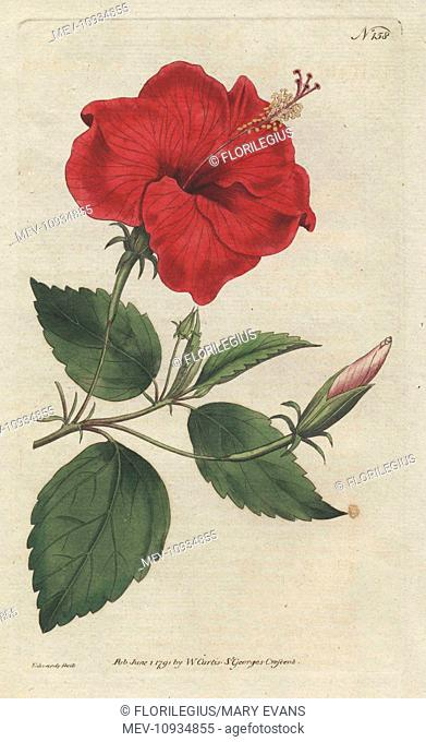 China-rose hibiscus, Hibiscus rosa sinensis. Handcolored copperplate engraving from a botanical illustration from William Curtis's Botanical Magazine, Lambeth