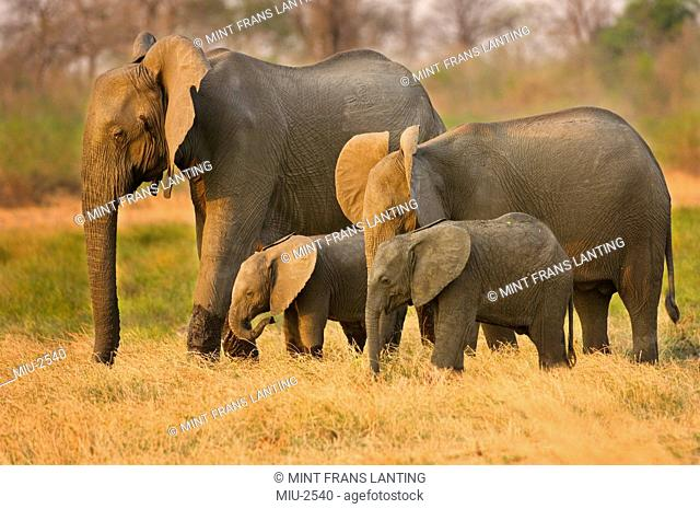 Elephant family, Loxodonta africana, Luangwa Valley, Zambia