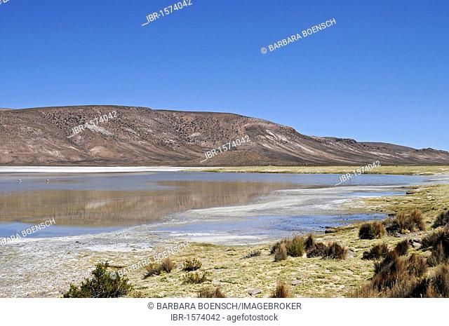 Grasses, vegetation, steppe, open plain, Salar de Surire, Salt Lake, Reserva Nacional de las Vicunas, Lauca National Park, Altiplano, Norte Grande