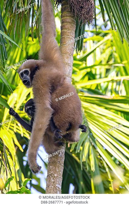 South east Asia, India,Tripura state,Gumti wildlife sanctuary,Western hoolock gibbon (Hoolock hoolock), adult female with baby