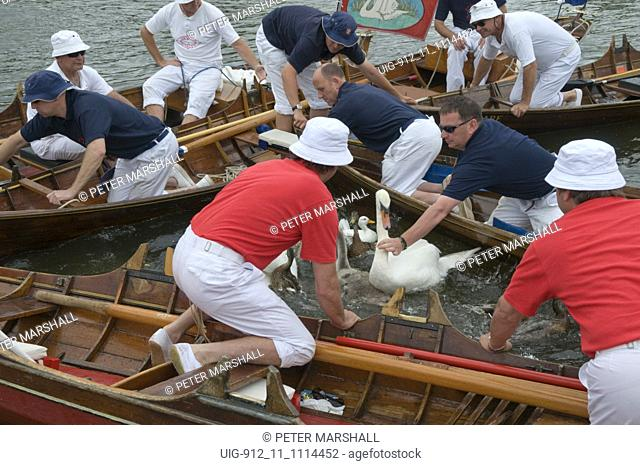 Swan Upping, River Thames; Staines to Windsor, Swans are surrounded and caught by the uppers for recording and a quick health check,July 2008 UK