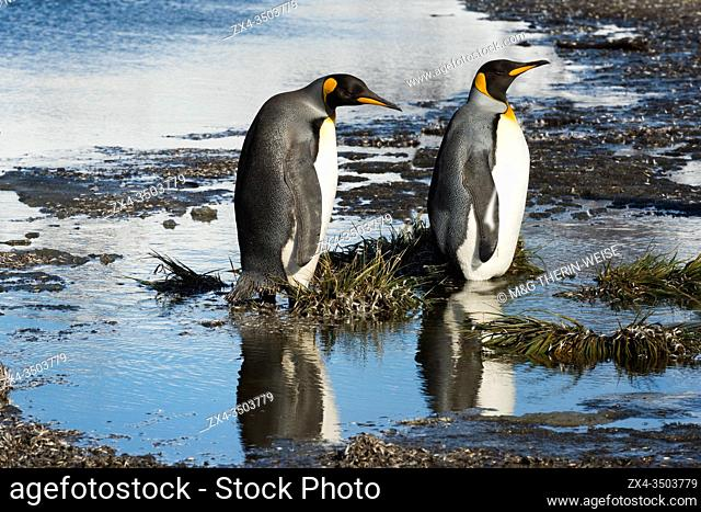 Two King Penguins (Aptenodytes patagonicus) crossing a stream, Salisbury Plain, South Georgia, Antarctic
