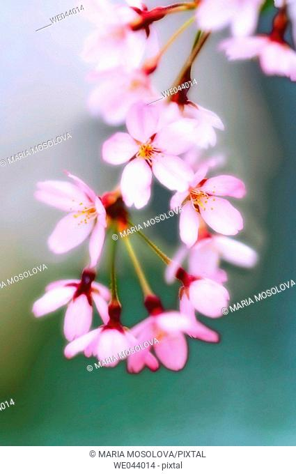 Cherry Blossom. Weeping Higan Cherry. Prunus subhirtella Pendula. April. Maryland, USA