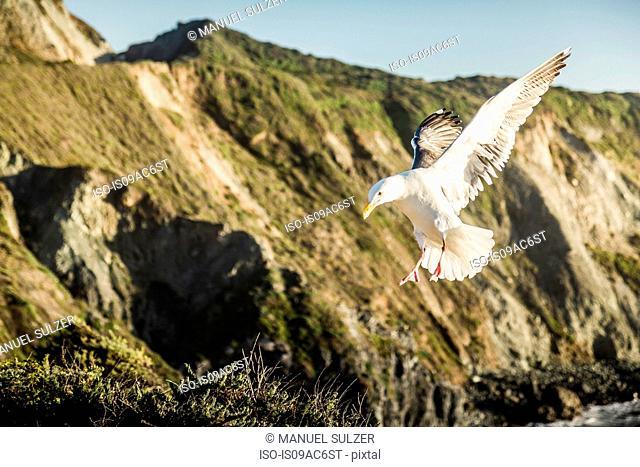 Gull in flight, close up