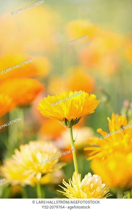 Close up of yellow Marigold flower (Calendula officinalis)
