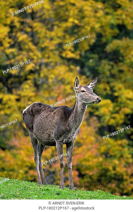 Red deer (Cervus elaphus) hind / doe during the rutting season in autumn forest