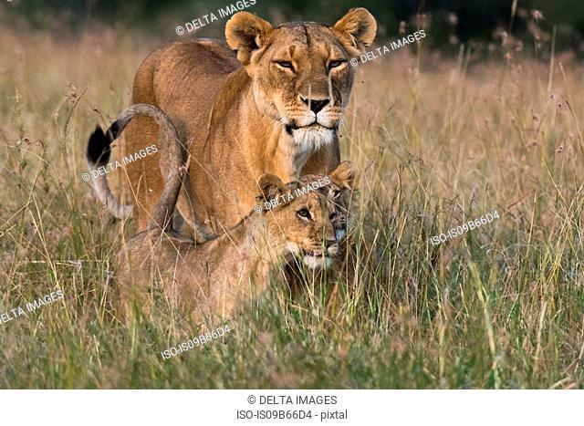 Lioness and cubs (Panthera leo), Masai Mara, Kenya, Africa