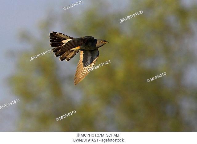 Eurasian cuckoo (Cuculus canorus), flying, Germany, Rhineland-Palatinate