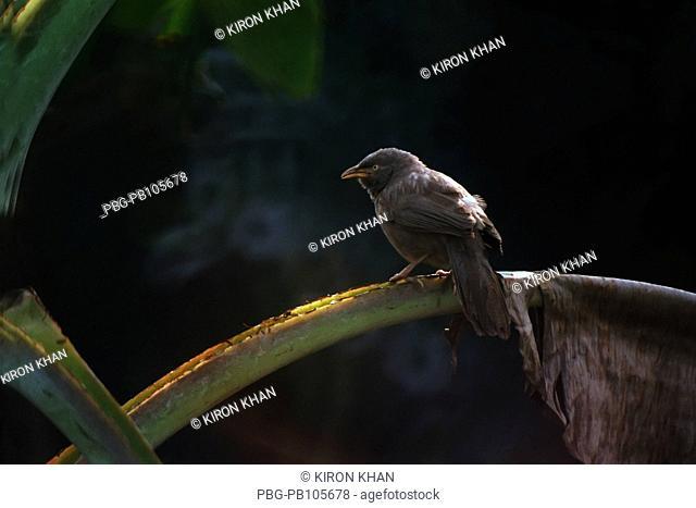Jungle Babbler Turdoides striata Local Name: Shatbhaila Kushtia, Bangladesh April 2009
