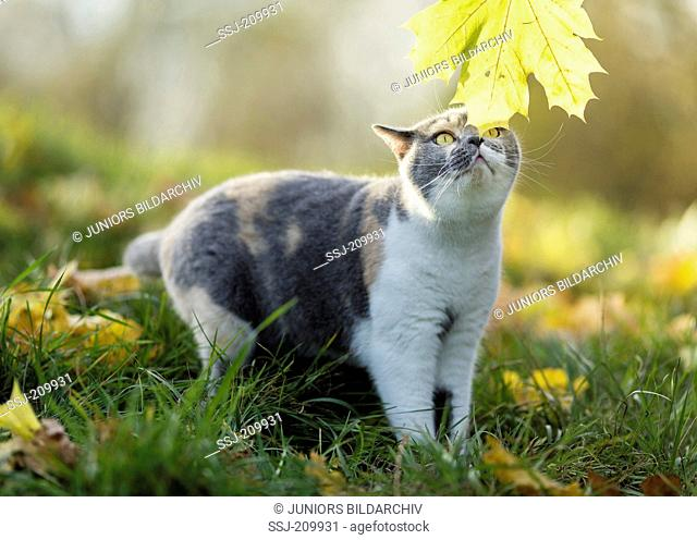 British Shorthair Cat. Tricolored adult sniffing on a leaf in autumn colours. Germany