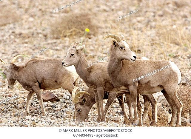 Desert bighorn sheep in Death Valley National Park USA- a rare sighting in this park!