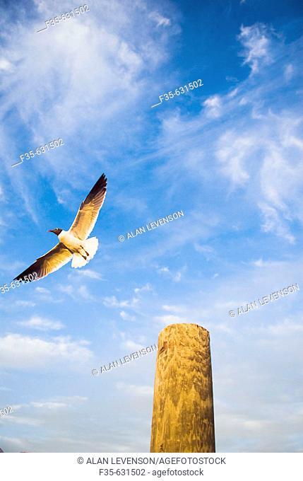 Florida Keys Seagull. USA