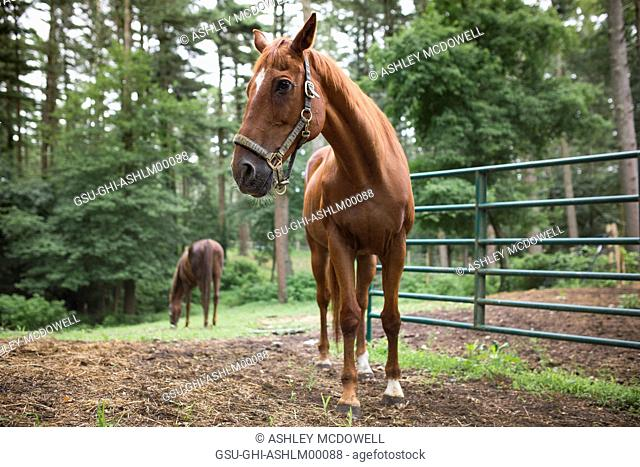 Saddle-bred Brown Horse in Foreground, Grazing Brown Horse in Background