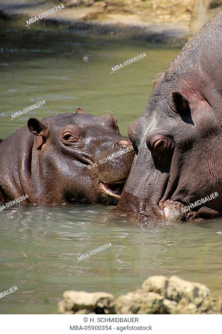 Hippopotamus young animal with mother animal, Hippopotamus amphibius