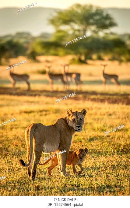 Lioness and cub (Panthera Leo) face camera near Impala (Aepyceros melampus) harem, Grumeti Serengeti Tent Camp, Serengeti National Park; Tanzania