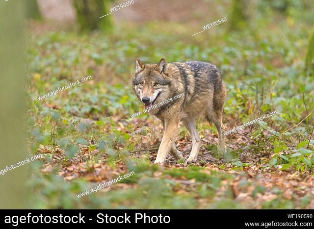 Wolf, Canis lupus, in forest