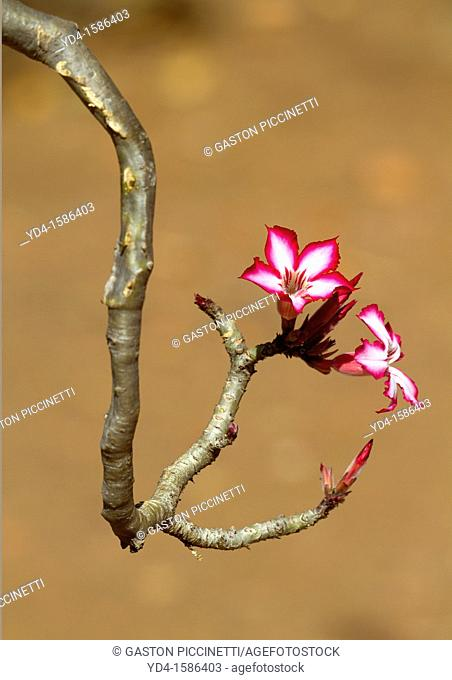 Impala Lily Adenium multiflorum, Kruger National Park, South Africa