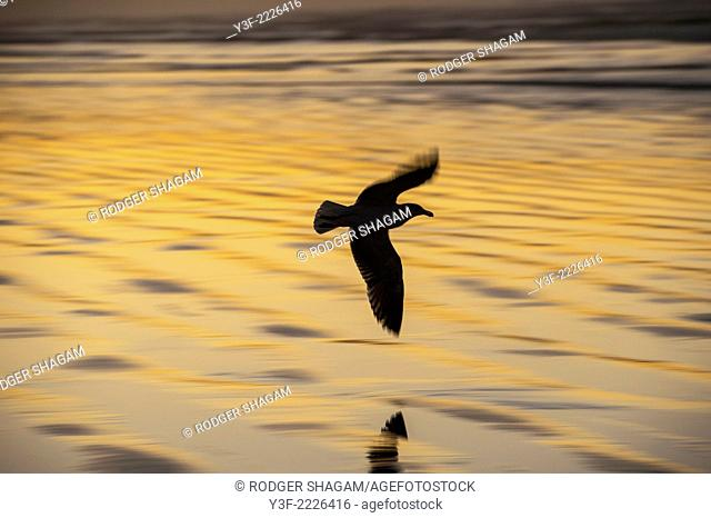 Seagull in flight in the golden glow of sunrise, Muizenberg Beach, Cape Town, South Africa