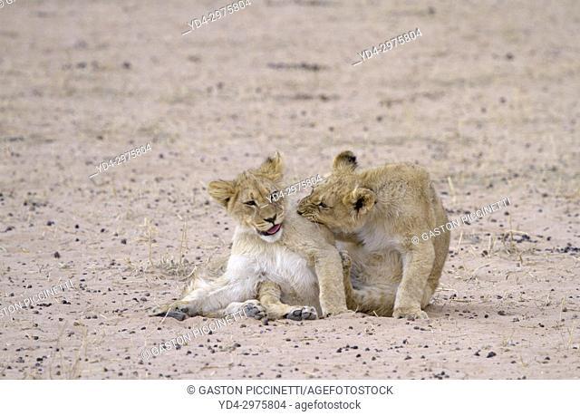 African Lion (Panthera leo) - Cubs, Kgalagadi Transfrontier Park, Kalahari desert, South Africa