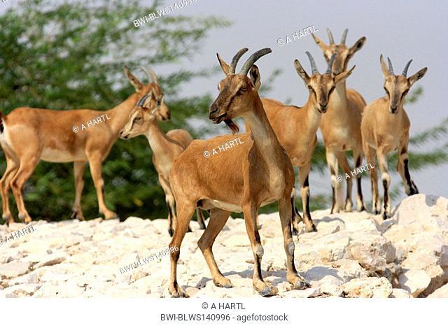 Nubian ibex Capra nubiana, Capra ibex nubiana, young male an a group of femals in the desert