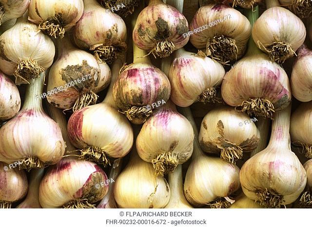 Garlic Allium sativum crop, 'Messidrome' variety, grown on organic smallholding, Wales