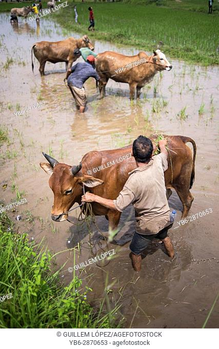 A local farmer washes and prepares his how during the famous cow race of Pacu Jawi in West Sumatra, Indonesia
