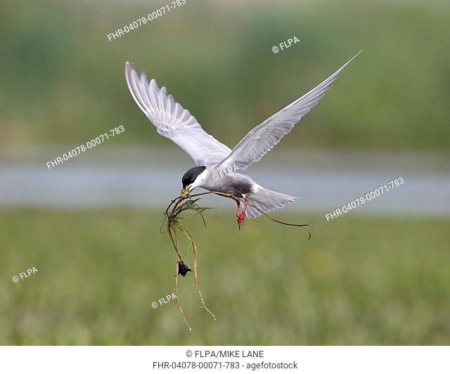 Whiskered Tern (Chlidonias hybrida) adult, breeding plumage, in flight, collecting nesting material, Romania, May