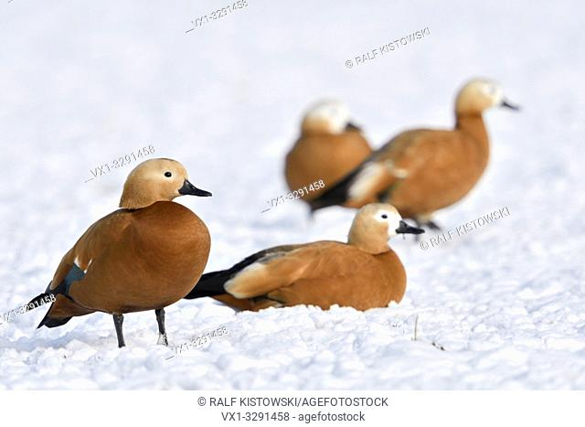 Ruddy Shelducks / Rostgänse ( Tadorne casarca ), little flock, resting in snow, on snow covered farmland, overwintering, invasive spezies in Europe, wildlife