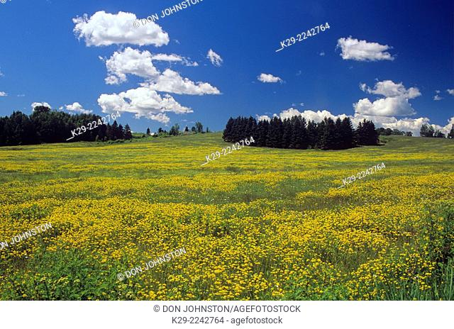 Pasture with trefoil and summer clouds, Iron Bridge, Ontario, Canada