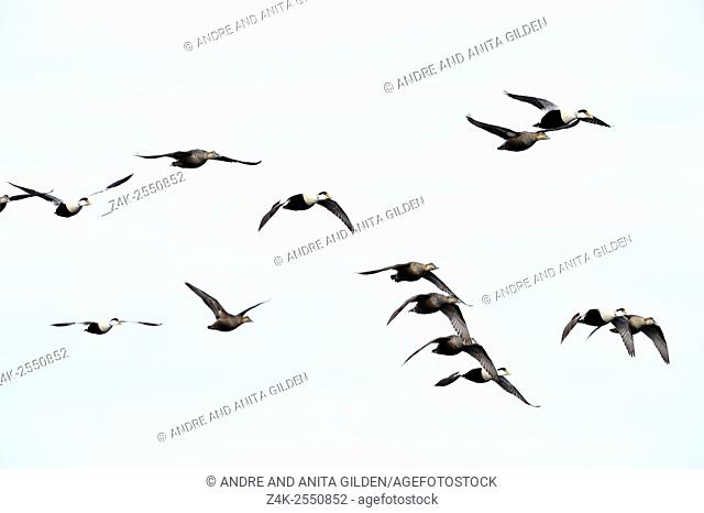 Group of Common eider (Somateria mollissima) flying against blue sky, Baffin bay, Nunavut, Canada