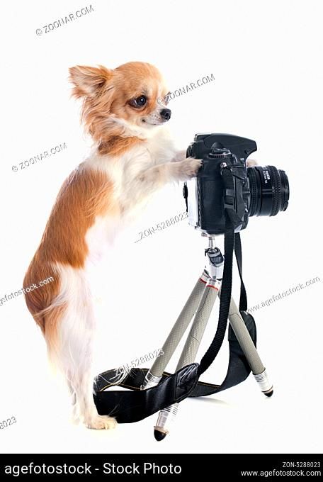 portrait of a cute purebred chihuahua and camera in front of white background