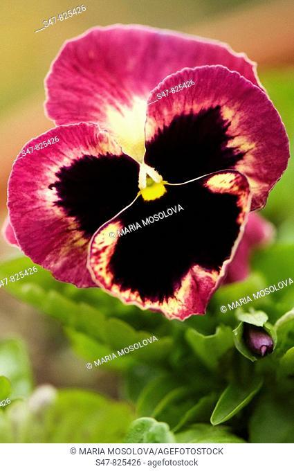 Dark Pansy Flower and a Bud. Viola x wittrockiana