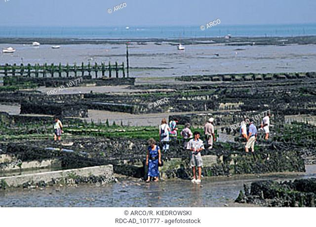 Tourists visiting oyster beds at low tide Cancale Brittany France