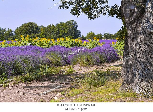 lavender fields with sunflowers, Provence, France, near Sainte-Croix-du-Verdon, department Alpes-de-Haute-Provence, region Provence-Alpes-Côte d'Azur