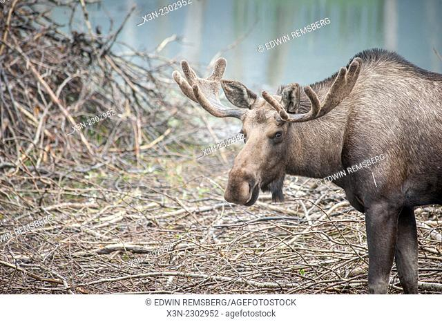 Moose (Alces Alces) standing on ground full of branches and twigs in Alaska