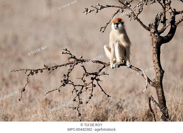 Patas Monkey (Erythrocebus patas) on the lookout, Borana Ranch, Kenya