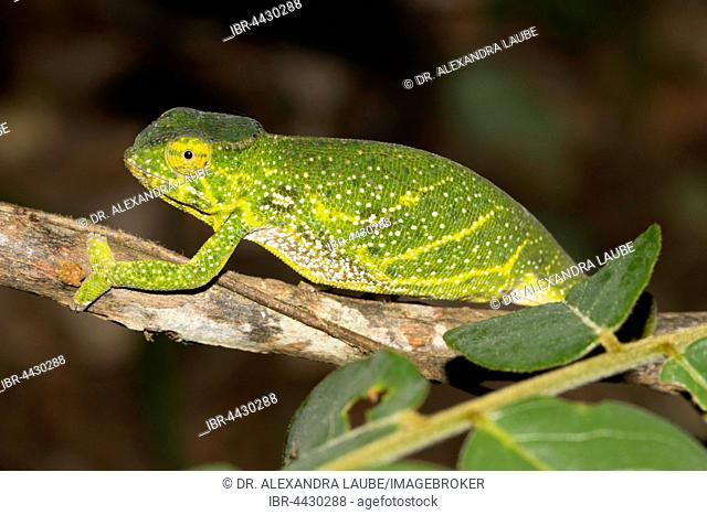 Canopy chameleon or Will's chameleon (Furcifer willsii), pregnant female, rainforest, Andasibe-Mantadia National Park, eastern Madagascar, Madagascar