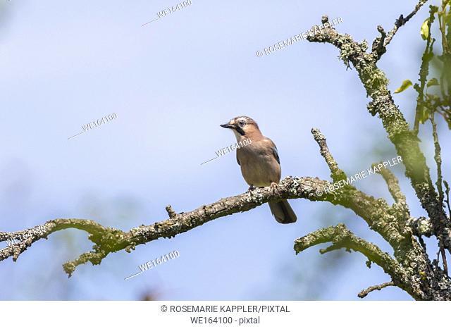 Germany, Saarland, Homburg - An eurasian jay on a branch