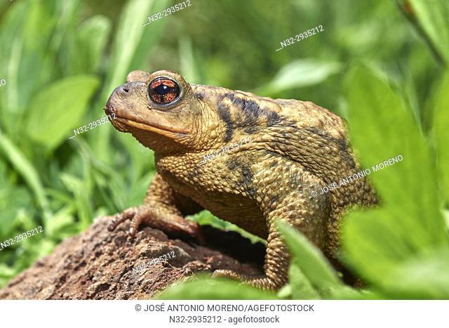 Sapo Comun, Common toad, Bufo bufo, Benalmadena, Malaga, Andalusia, Spain