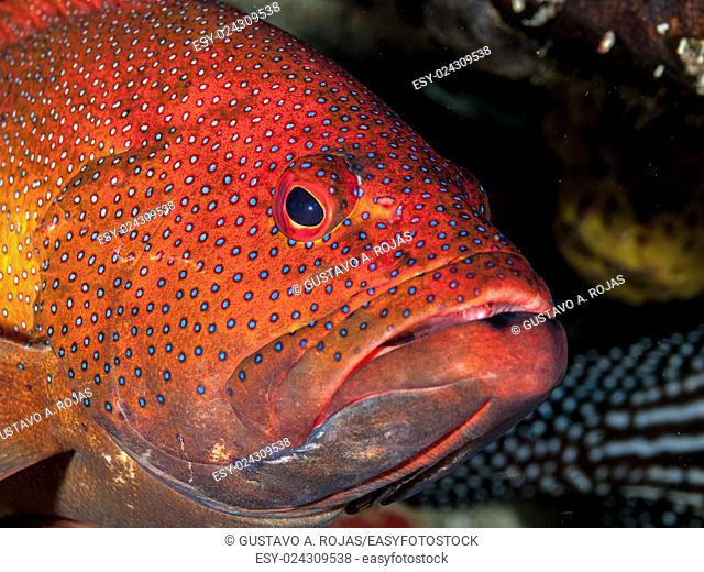 EPINEPHELUS FULVUS, Los Roques, Venezuela phase coloration bright red