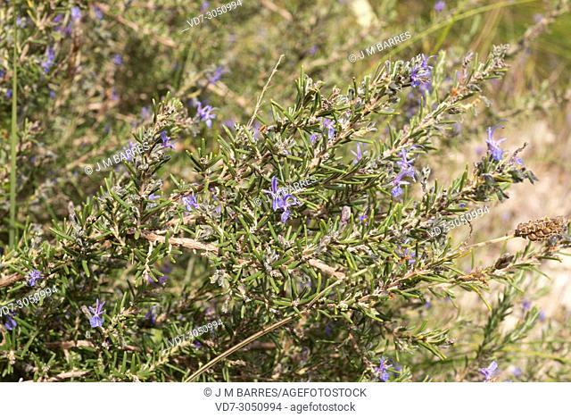 Rosmarinus eriocalix is a shrub native to southeastern Spain and north Africa. This photo was taken in Cabo de Gata Natural Park, Andalucia, Spain