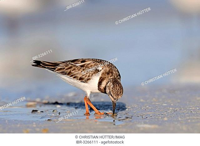 Ruddy Turnstone (Arenaria interpres) in non-breeding plumage, foraging for food